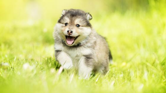 Alaskan Malamute Puppy wallpaper