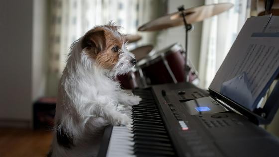 Pianist Jack Russell Terrier wallpaper