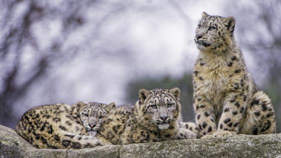 Resting snow leopard family wallpaper