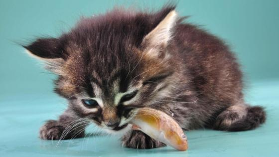 Kitten eating a fish wallpaper