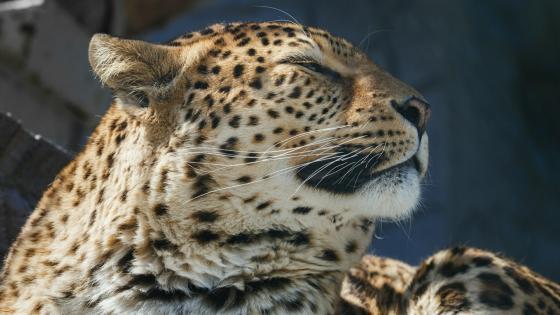 Leopard head wallpaper