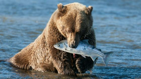Fishing grizzly wallpaper