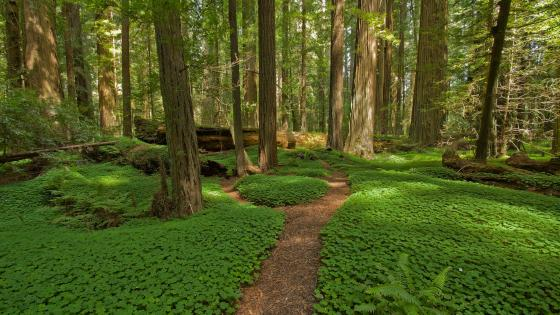 Clover carpet in the forest wallpaper