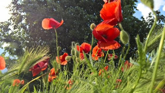 Red poppies - Worm's eye view photography wallpaper