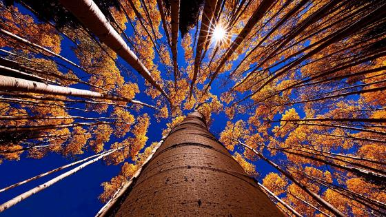 Autumn trees - Low angle view wallpaper