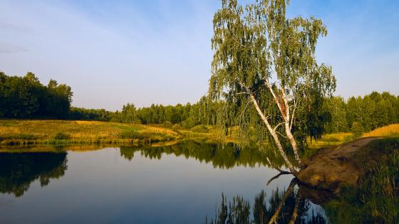 Birch near the pond in Skopin, Russia wallpaper