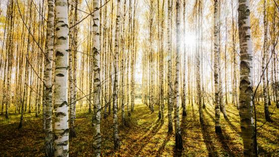 Birch forest sunlight wallpaper