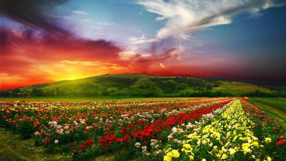 Beautiful rose farm wallpaper