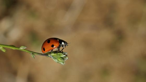 Ladybird - Macro photography wallpaper