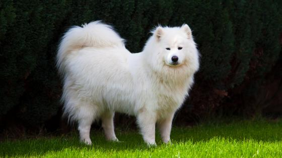 Samoyed dog wallpaper