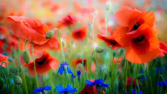 Red poppies with blue wildflowers wallpaper
