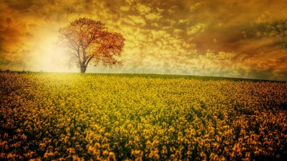 Lonely tree in the middle of a yellow rape field wallpaper
