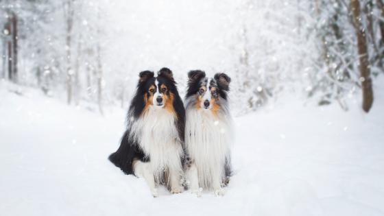 Rough Collie dogs wallpaper