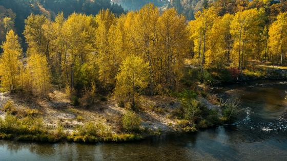 Yellow fall trees along the river wallpaper