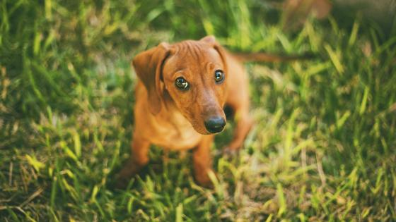 Dachshund in the grass wallpaper