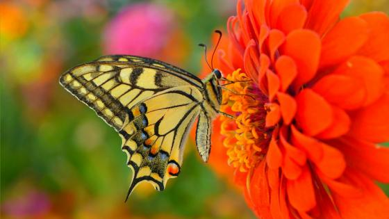 Butterfly gathering nectar wallpaper