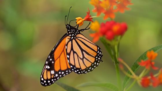 Butterfly macro photography wallpaper