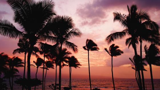 Palms in the windy sunset wallpaper