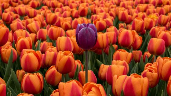 Tulip field wallpaper
