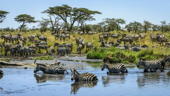 Zebra herd wallpaper