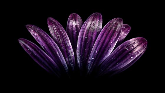 Purple flower petals wallpaper