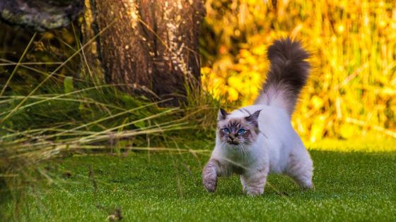 Fluffy tail cat wallpaper