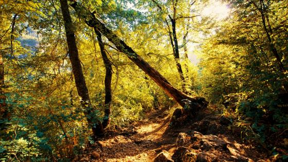 Narrow forest path wallpaper