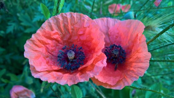 Creased poppy flower petals wallpaper