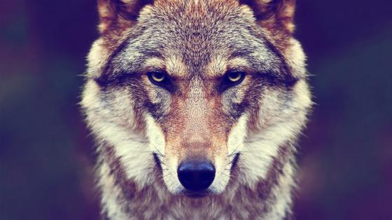 Wolf face wallpaper