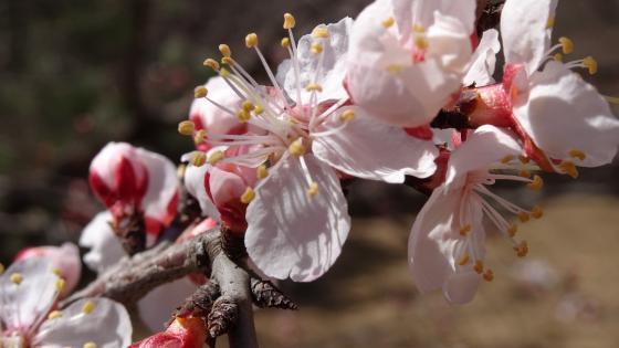 China sakura bloom wallpaper