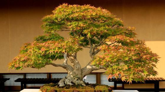 Bonsai tree wallpaper