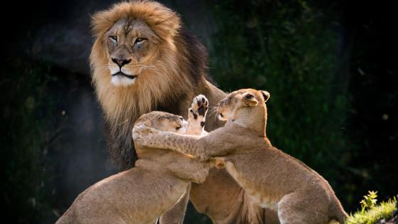 Lion cub fight wallpaper