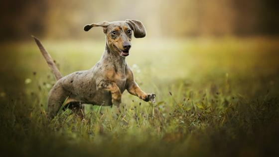 Dachshund running wallpaper