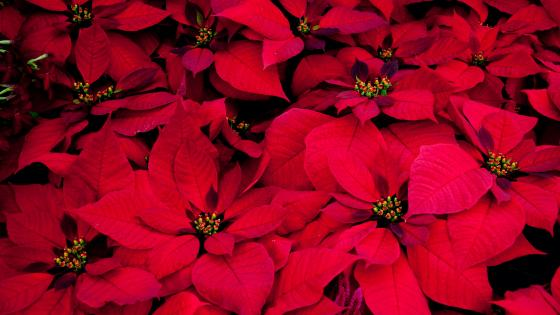 Red Poinsettia wallpaper