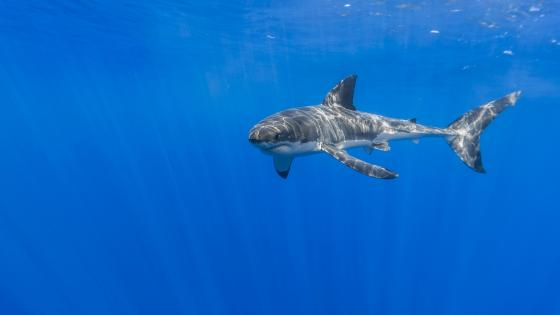 Great white shark ? wallpaper