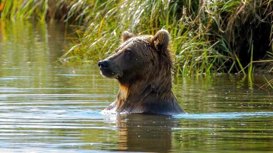 Bruiser bear swimming in lake wallpaper