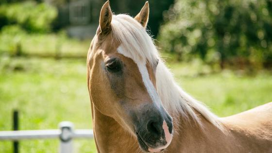 Haflinger mare wallpaper