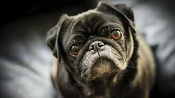 Black pug dog wallpaper
