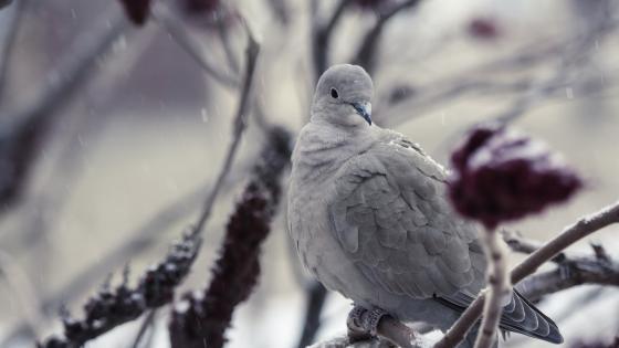 Dove wallpaper