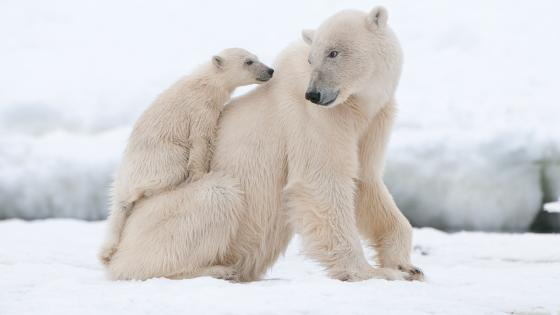 Polar bear cub on her mother's back wallpaper