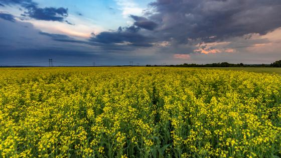 Canola field wallpaper