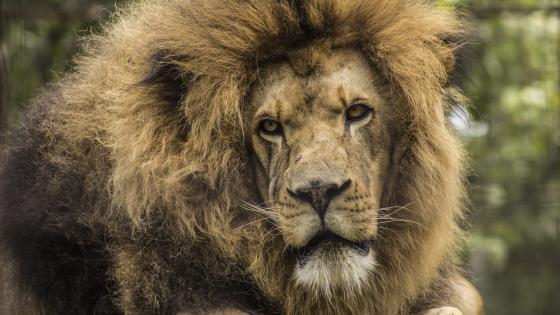 African lion (Panthera leo) wallpaper