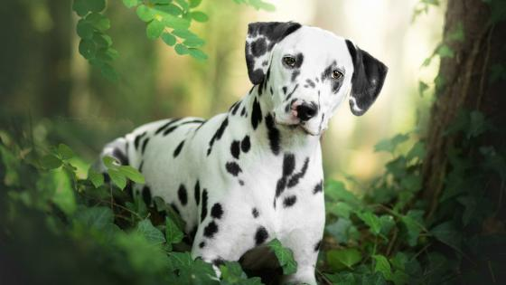 Dalmatian dog wallpaper