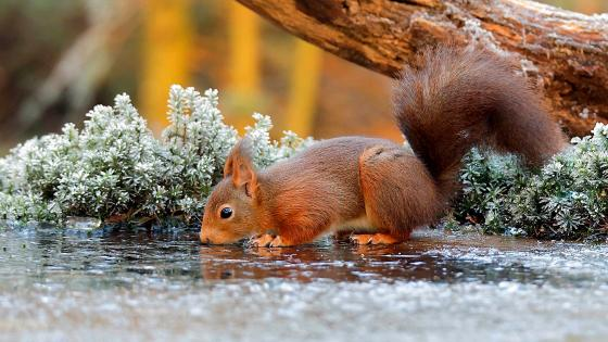 Drinking squirrel wallpaper