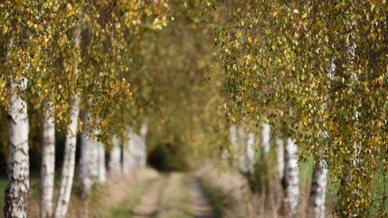 Alley of birch trees at fall wallpaper