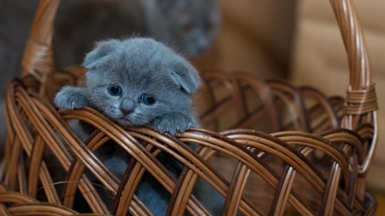 Russian Blue baby kitten in a basket wallpaper