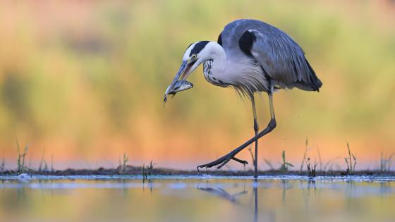 Fisher crane bird wallpaper