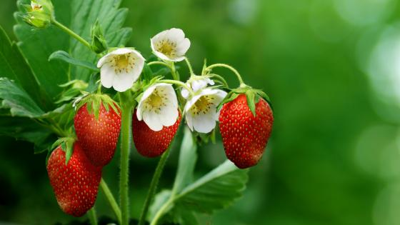 Strawberry plant wallpaper