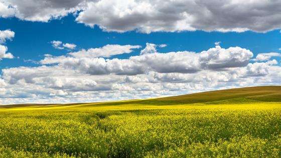 Yellow canola field wallpaper