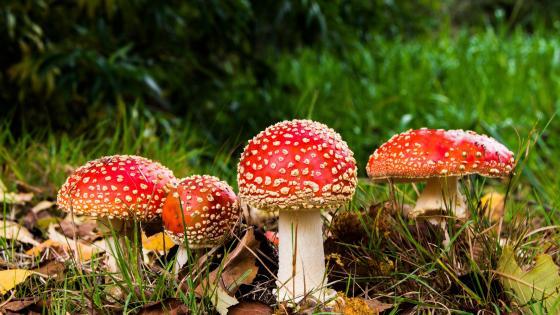 Fly agaric mushrooms wallpaper